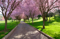 Peach Blossom Lane Royalty Free Stock Photography