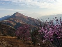 Peach Blossom In The Mountain Stock Photo
