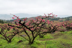 Peach Blossom in moutainous area. In heyuan district, guangdong province, China stock image
