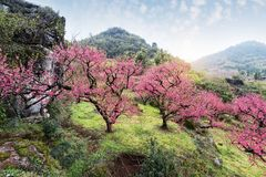 Peach Blossom in moutainous area. In heyuan district, guangdong province, China royalty free stock photos