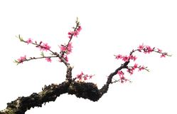 Peach Blossom in moutainous area. In heyuan district, guangdong province, China royalty free stock image