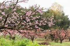 Peach Blossom in moutainous area. In heyuan district, guangdong province, China royalty free stock photo
