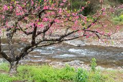 Peach Blossom in moutainous area. In heyuan district, guangdong province, China stock photo