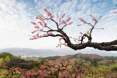 Peach Blossom in moutainous area. In heyuan district, guangdong province, China royalty free stock photography
