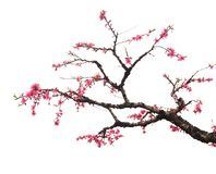 Peach Blossom in moutainous area. In heyuan district, guangdong province, China stock images