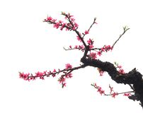 Peach Blossom in moutainous area. In heyuan district, guangdong province, China stock photography