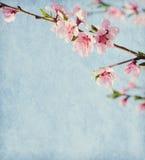 Peach blossom. Royalty Free Stock Photo