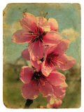Peach blossom. Old postcard. Stock Photo