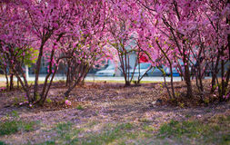 The peach blossom Royalty Free Stock Photos