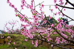 Peach blossom openning Stock Images