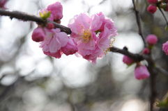 Peach blossom. Park peach bloom in spring Royalty Free Stock Photo