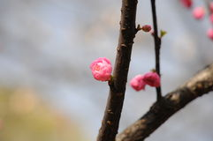 Peach blossom. Park peach bloom in spring Royalty Free Stock Images