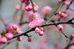 Peach blossom. Park peach bloom in spring Stock Image