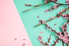 Peach blossom on pastel colour background. Fruit flowers stock photo