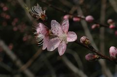 Peach blossom. S are open in March, in the early morning, crystal clear Royalty Free Stock Photos