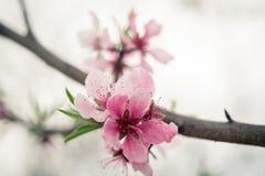 Peach Blossom, Peach, Wood, Flowers Stock Photo