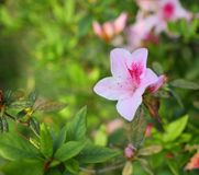 Peach blossom with pink pistil in full bloom. Rhododendron simsii blossom with pink pistil in full bloom Stock Image