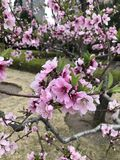 A peach blossom presses a begonia. Spring has come, peach blossoms have opened, peach pollen and apricot flowers are red stock images