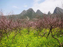 Peach blossom with rape flowers Royalty Free Stock Photography