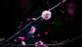 Peach blossom Stock Photography