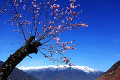 Peach blossom and snow capped mountains Stock Photos