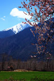 Peach blossom and snow capped mountains Royalty Free Stock Photography