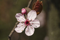 Peach blossom in spring Royalty Free Stock Photography