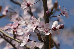 Peach blossom in spring Stock Image