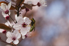 Peach blossom in spring Royalty Free Stock Photo