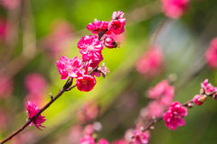 Peach blossom 2 Royalty Free Stock Photo