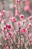 Peach blossom 3 Royalty Free Stock Photography