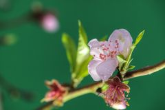Peach blossom in spring. Royalty Free Stock Images