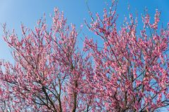 Peach blossom in spring. On blue clear sky background with copy space Royalty Free Stock Photos