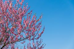 Peach blossom in spring. On blue clear sky background with copy space Stock Photos