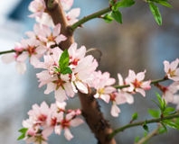 Peach blossom in spring. Stock Images