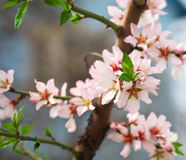Peach blossom in spring. Royalty Free Stock Photography