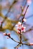 Peach blossom in spring Stock Photos