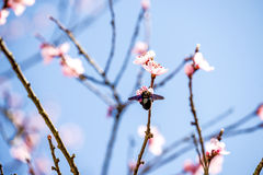 Peach blossom in spring in Germany Royalty Free Stock Photography