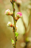 Peach blossom. Spring is here, peach blossom stock photo