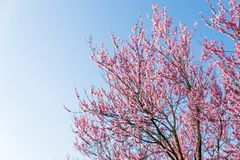 Peach blossom in spring. On blue clear sky background with copy space. Can be used as design for a card Stock Photos