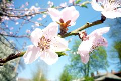 Peach blossom in spring on a sunny day royalty free stock image