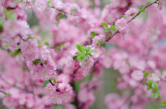 Peach blossom. In spring time stock images