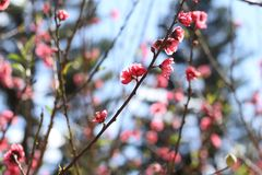 Peach blossom. Spring time now royalty free stock image