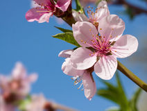 Peach blossom Stock Photos