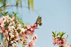 Peach blossom and swallowtail Royalty Free Stock Photos