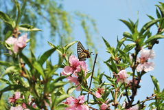 Peach blossom and Swallowtail Royalty Free Stock Images