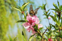 Peach blossom and Swallowtail Stock Photography