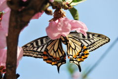 Peach blossom and Swallowtail. In the garden and sunny day many peach blossom royalty free stock photography
