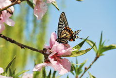 Peach blossom and Swallowtail. In the garden and sunny day many peach blossom royalty free stock images