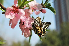 Peach blossom and Swallowtail. In the garden and sunny day many peach blossom royalty free stock photos